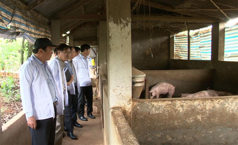 Lãnh đạo tỉnh kiểm tra các cơ sở chăn nuôi